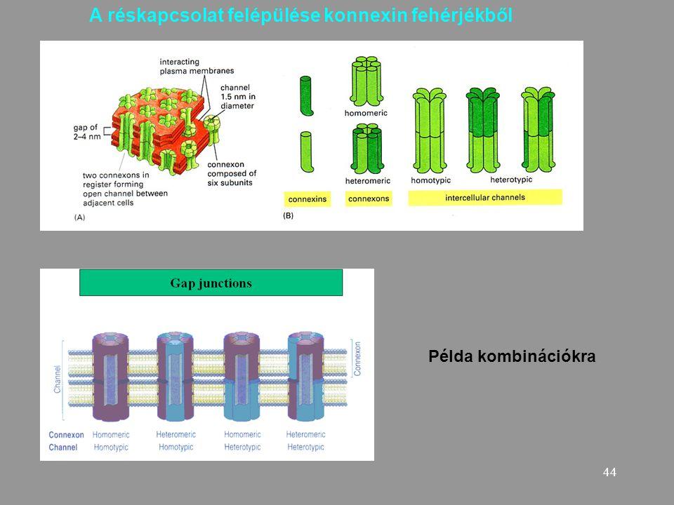 44 Példa kombinációkra A réskapcsolat felépülése konnexin fehérjékből