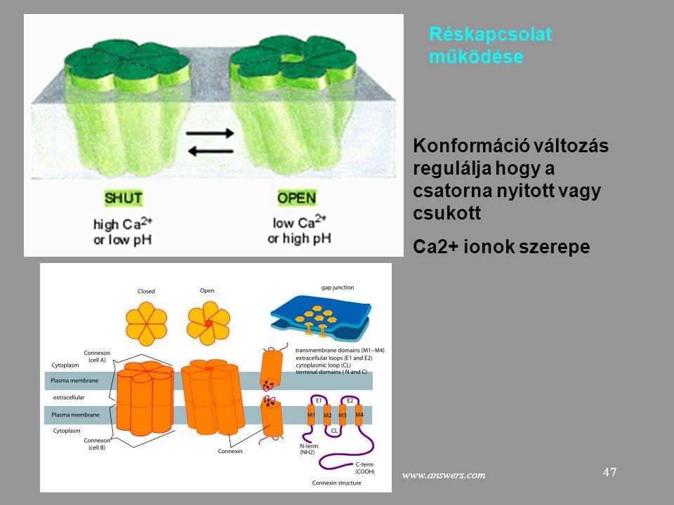 47 Konformáció változás regulálja hogy a csatorna nyitott vagy csukott Ca2+ ionok szerepe Réskapcsolat működése www.answers.com
