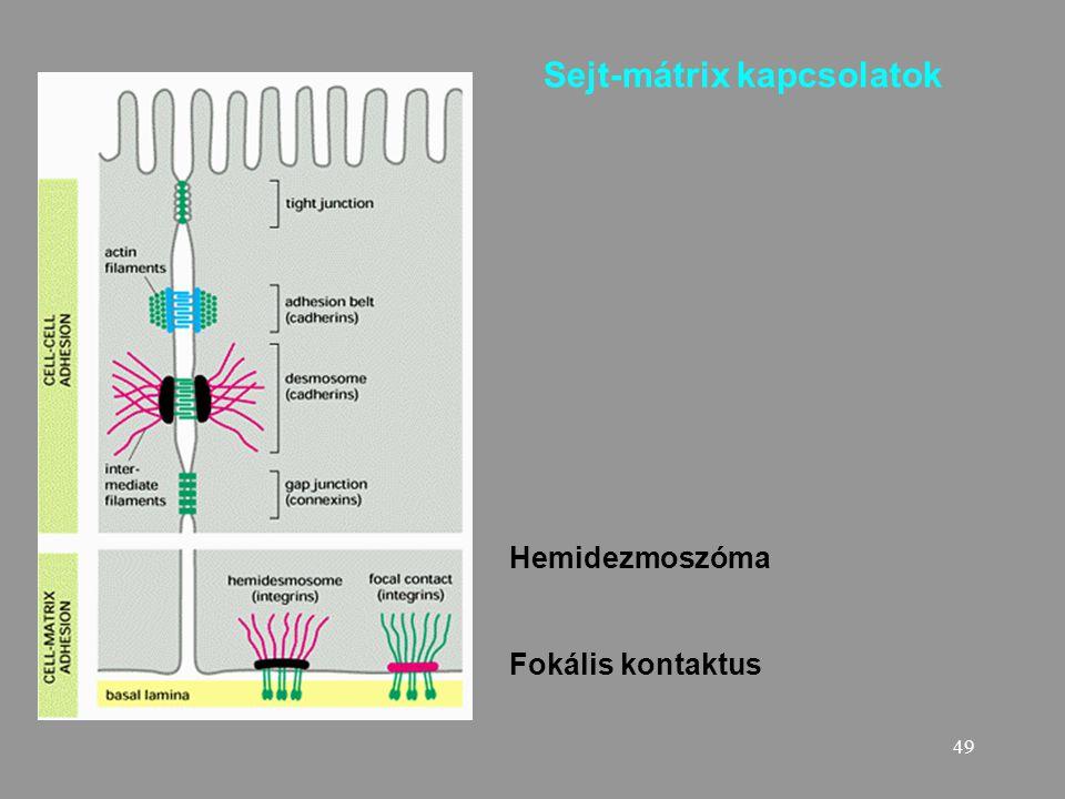 49 Sejt-mátrix kapcsolatok Hemidezmoszóma Fokális kontaktus