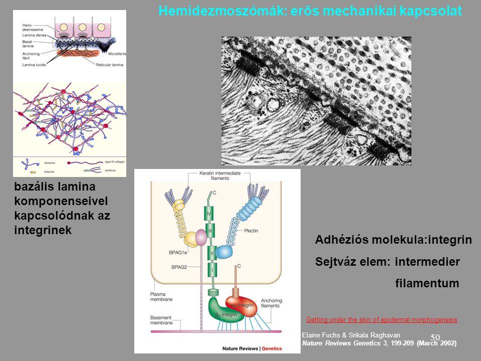 50 bazális lamina komponenseivel kapcsolódnak az integrinek Hemidezmoszómák:erős mechanikai kapcsolat Adhéziós molekula:integrin Sejtváz elem: intermedier filamentum Getting under the skin of epidermal morphogenesis Elaine Fuchs & Srikala Raghavan Nature Reviews Genetics 3, 199-209 (March 2002)