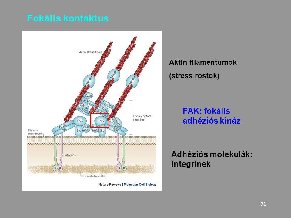 51 Fokális kontaktus Adhéziós molekulák: integrinek Aktin filamentumok (stress rostok) FAK: fokális adhéziós kináz