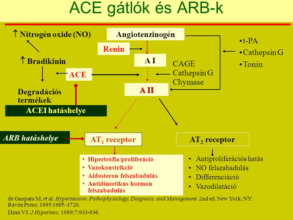 t-PA Cathepsin G Tonin Angiotenzinogén A I Renin A II CAGE Cathepsin G Chymase Antiproliferációs hatás NO felszabadulás Differenciáció Vazodilatáció Hipertrófia/proliferáció Vazokonstrikció Aldosteron felszabadulás Antidiuretikus hormon felszabadulás AT 1 receptorAT 2 receptor ARB hatáshelye ACEI hatáshelye ACE Degradációs termékek  Bradikinin  Nitrogén oxide (NO) ACE gátlók és ARB-k de Gasparo M, et al.