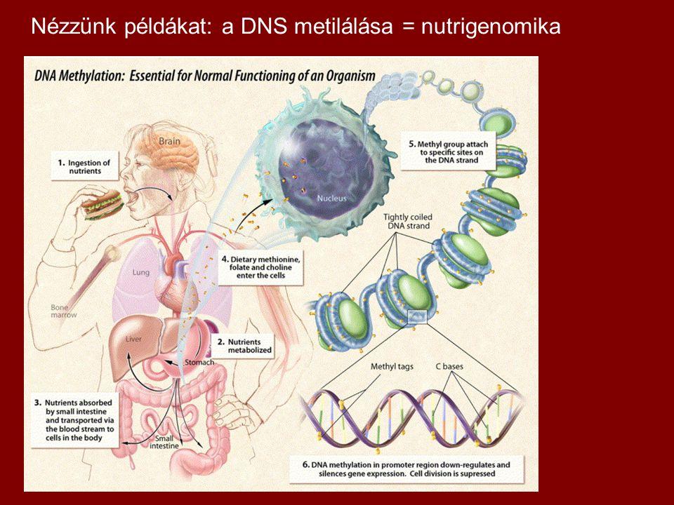 Nézzünk példákat: a DNS metilálása = nutrigenomika