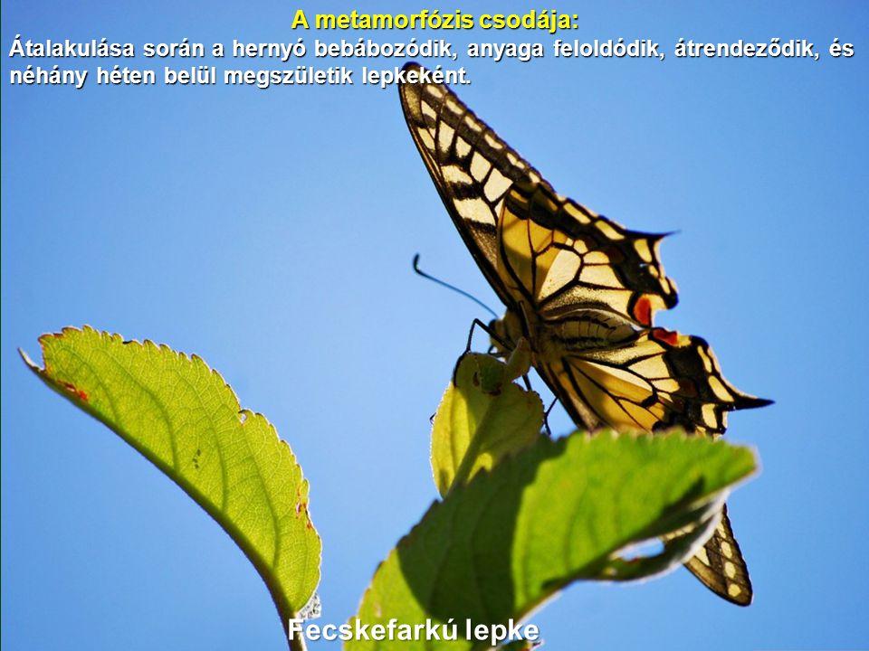 A metamorfózis csodája: Átalakulása során a hernyó bebábozódik, anyaga feloldódik, átrendeződik, és néhány héten belül megszületik lepkeként.