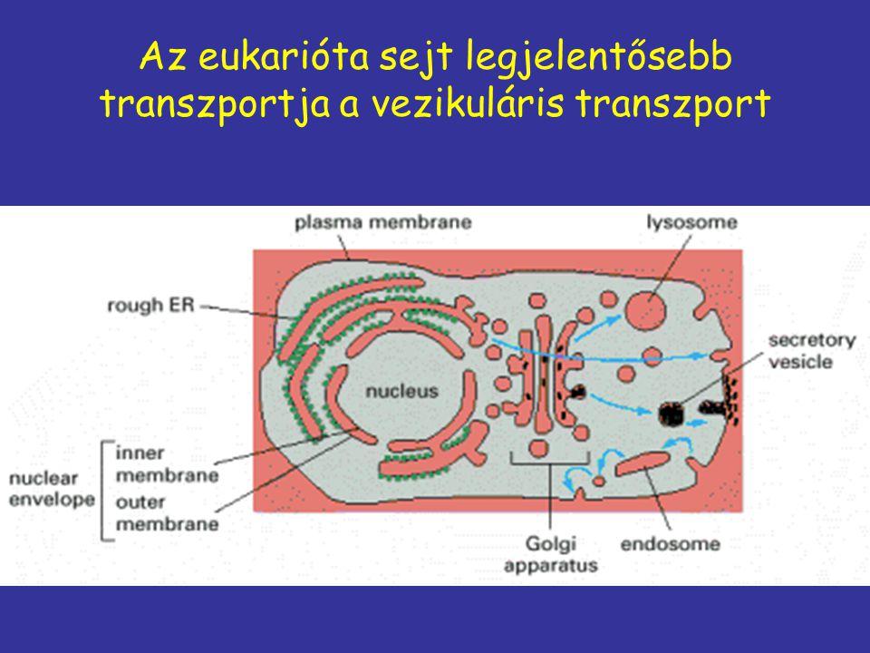 Vezikuláris transzport: szekréciós útvonal szabad riboszóma Endoplazmás retikulum Golgi Szekréciós vezikulum Plazma membrán Vezikuláris transzport Plazmamembrán konstitutív regulált szekréció (exocitózis)