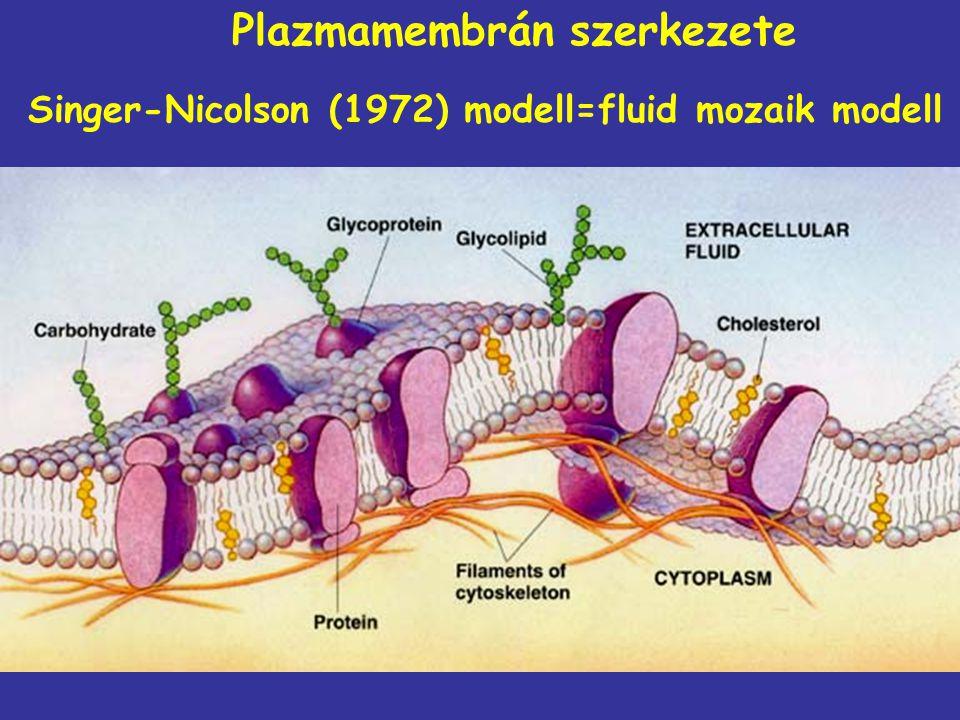 Plazmamembrán szerkezete Singer-Nicolson (1972) modell=fluid mozaik modell