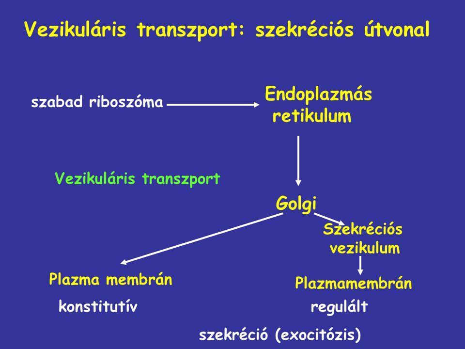 Vezikuláris transzport: szekréciós útvonal szabad riboszóma Endoplazmás retikulum Golgi Szekréciós vezikulum Plazma membrán Vezikuláris transzport Pla