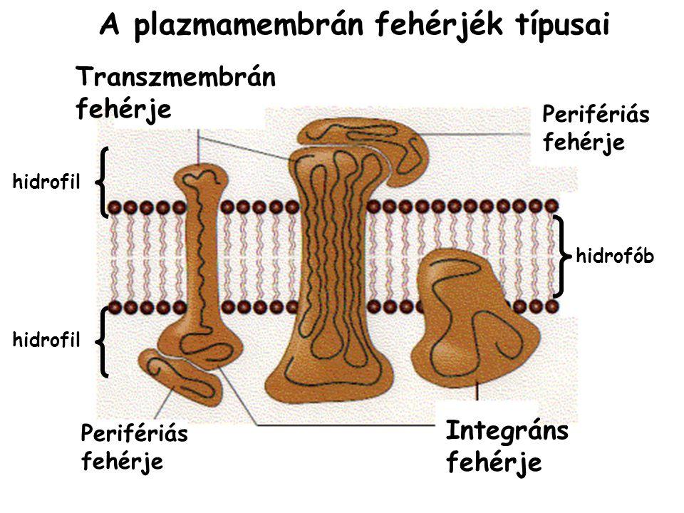 Perifériás fehérje Transzmembrán fehérje Integráns fehérje Perifériás fehérje A plazmamembrán fehérjék típusai hidrofób hidrofil