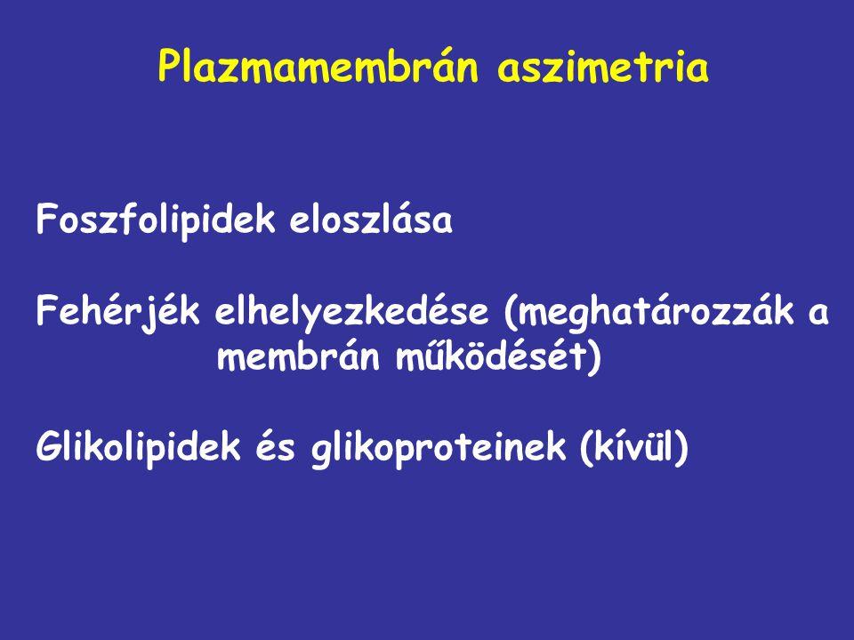 Plazmamembrán aszimetria Foszfolipidek eloszlása Fehérjék elhelyezkedése (meghatározzák a membrán működését) Glikolipidek és glikoproteinek (kívül)