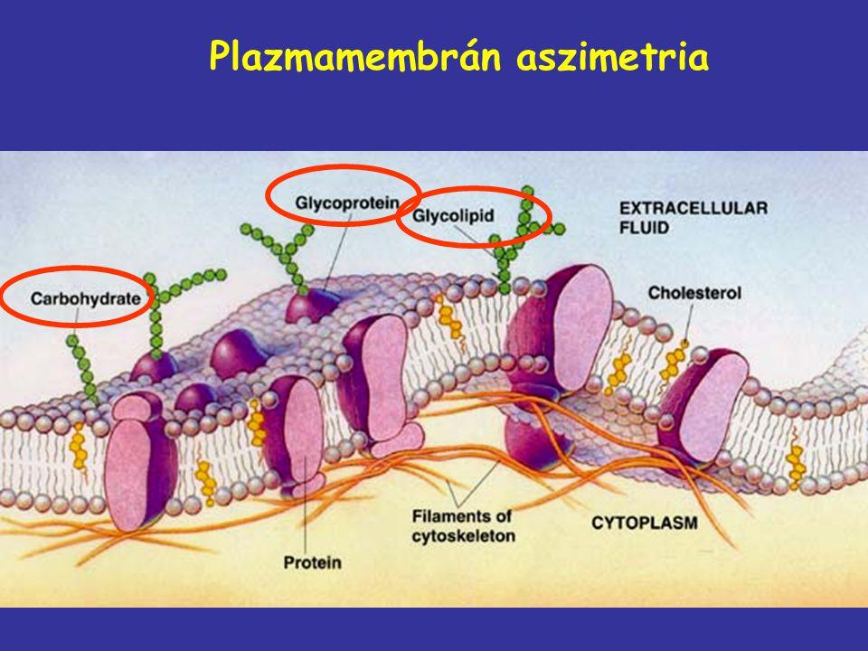 Plazmamembrán aszimetria
