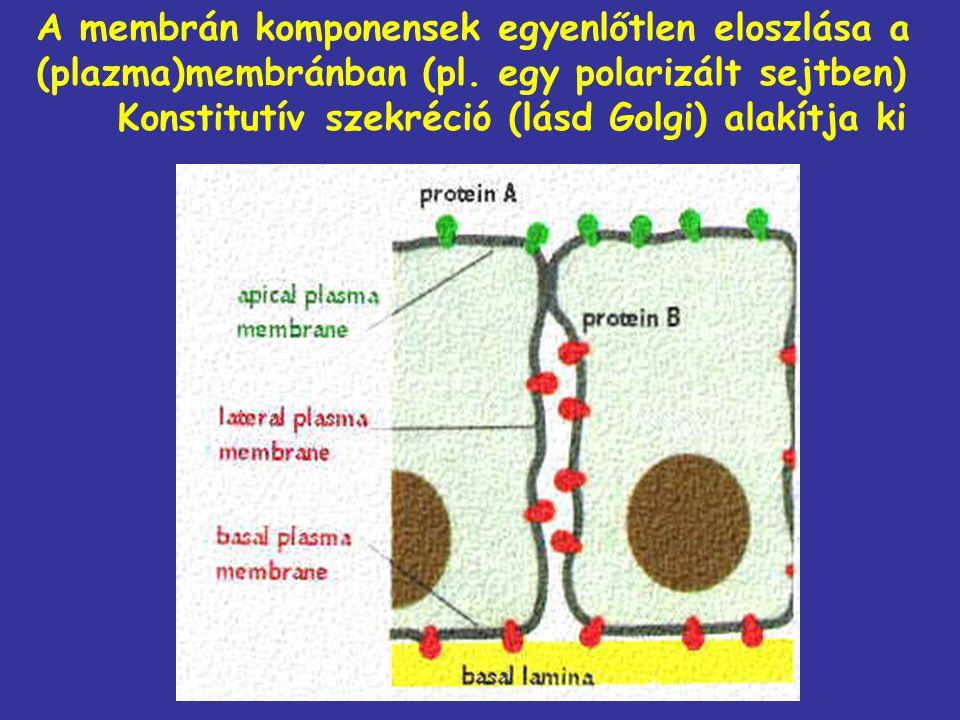 A membrán komponensek egyenlőtlen eloszlása a (plazma)membránban (pl. egy polarizált sejtben) Konstitutív szekréció (lásd Golgi) alakítja ki