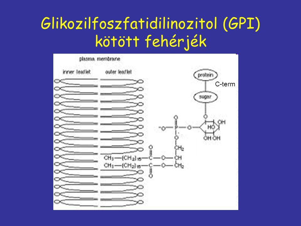 Glikozilfoszfatidilinozitol (GPI) kötött fehérjék C-term