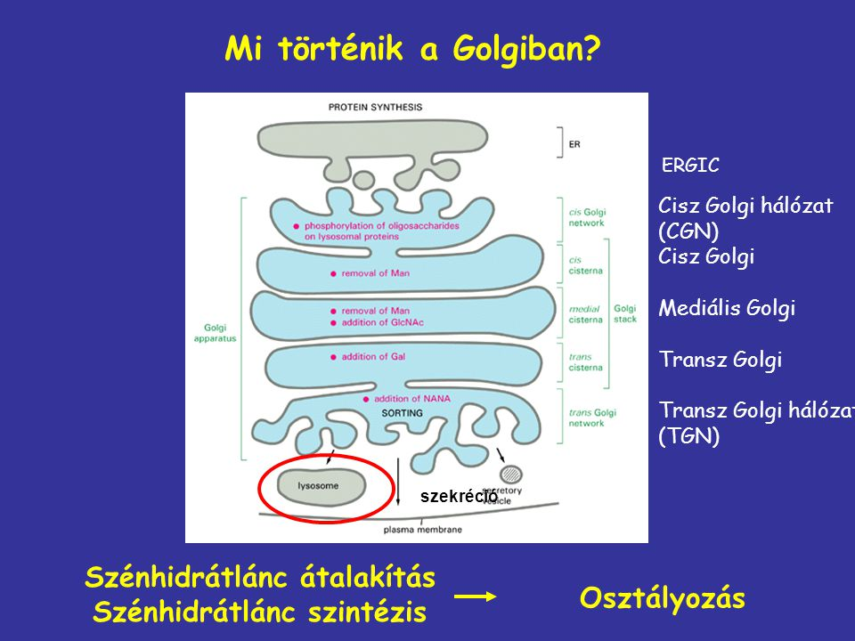 Néhány genetikai betegség, amely hibás Golgi működésre vezethető vissza
