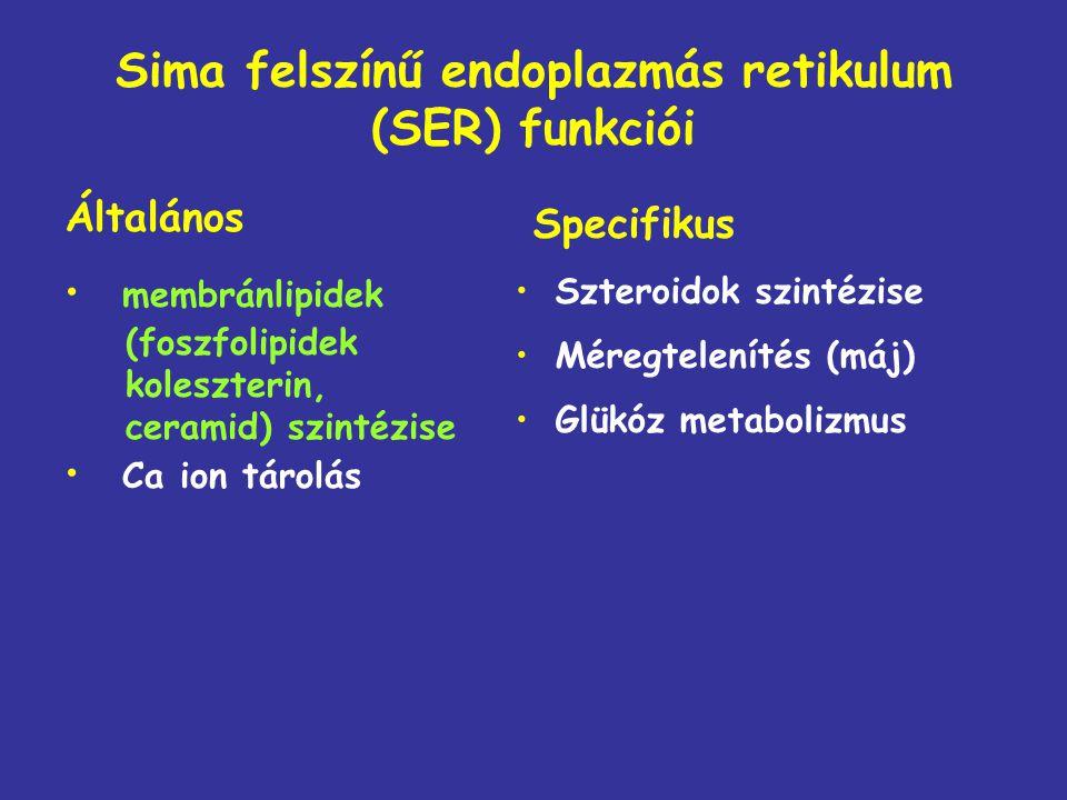 Sima felszínű endoplazmás retikulum (SER) funkciói Általános membránlipidek (foszfolipidek koleszterin, ceramid) szintézise Ca ion tárolás Specifikus