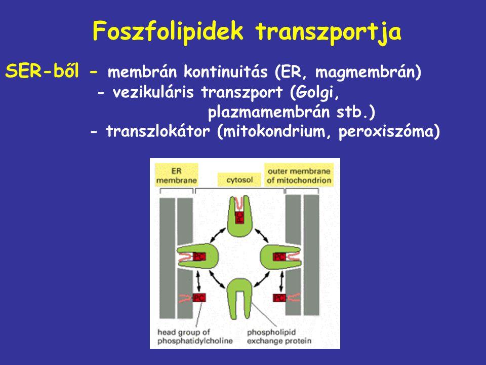 Foszfolipidek transzportja SER-ből - membrán kontinuitás (ER, magmembrán) - vezikuláris transzport (Golgi, plazmamembrán stb.) - transzlokátor (mitoko