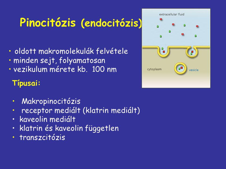 Pinocitózis (endocitózis) oldott makromolekulák felvétele minden sejt, folyamatosan vezikulum mérete kb. 100 nm Típusai: Makropinocitózis receptor med