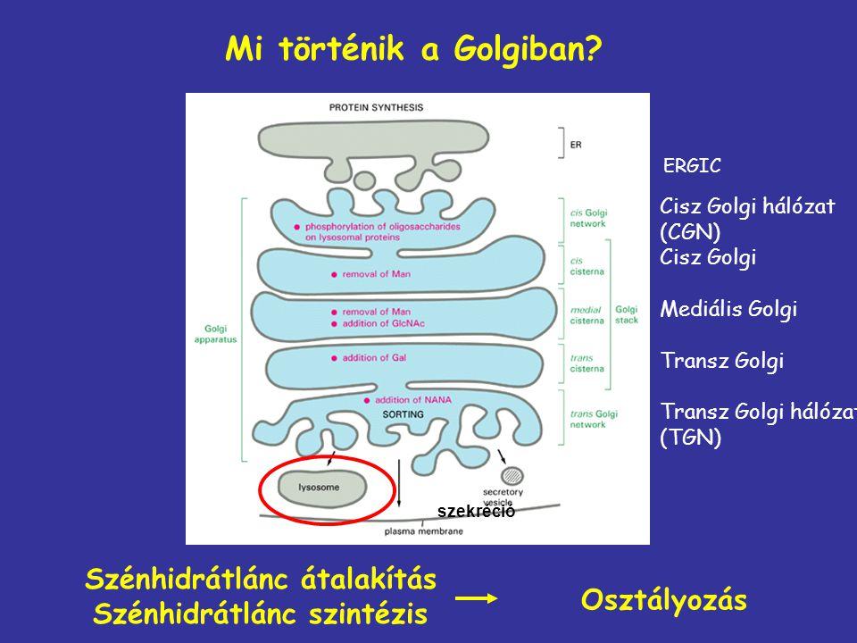 Mi történik a Golgiban? Szénhidrátlánc átalakítás Szénhidrátlánc szintézis Osztályozás Cisz Golgi hálózat (CGN) Cisz Golgi Mediális Golgi Transz Golgi