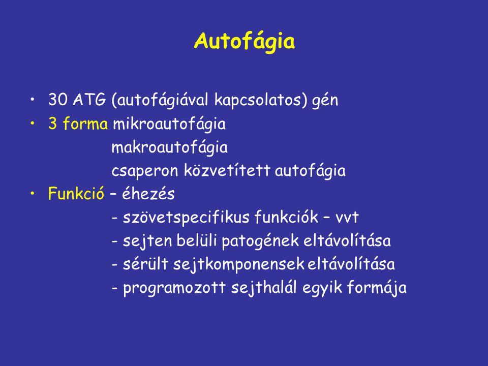 Autofágia 30 ATG (autofágiával kapcsolatos) gén 3 forma mikroautofágia makroautofágia csaperon közvetített autofágia Funkció – éhezés - szövetspecifik