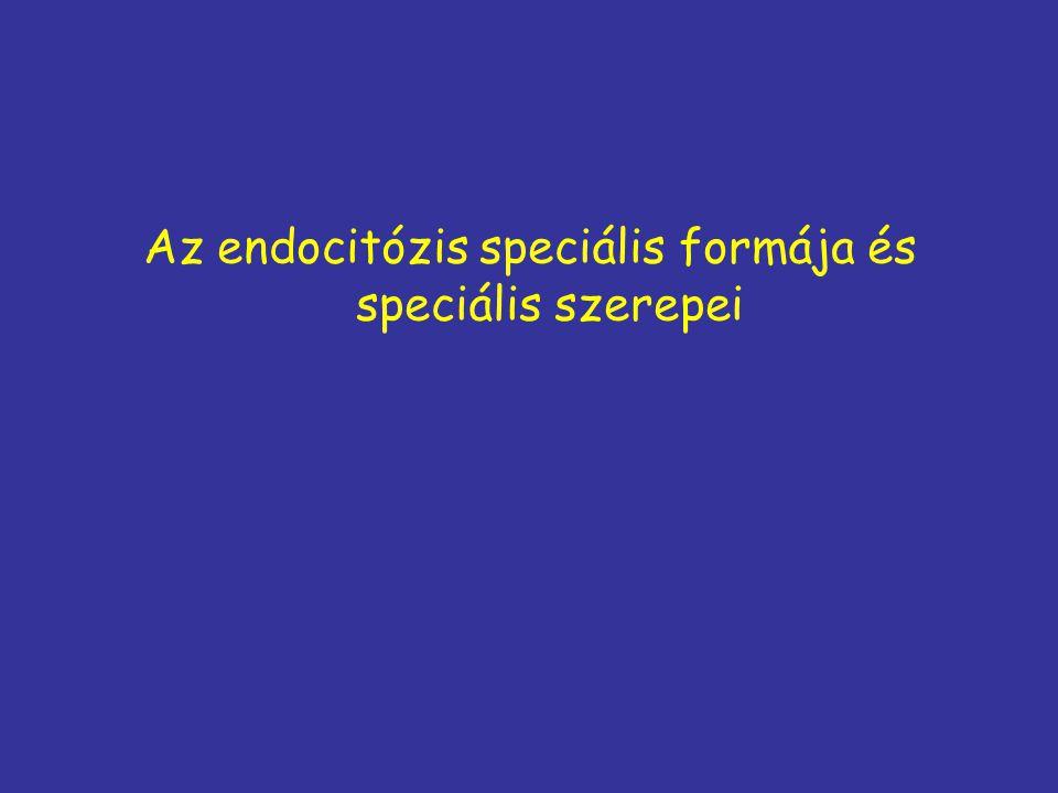 Az endocitózis speciális formája és speciális szerepei