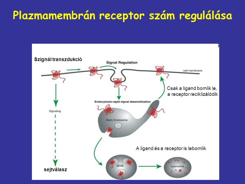Plazmamembrán receptor szám regulálása Szignál transzdukció sejtválasz Csak a ligand bomlik le, a receptor reciklizálódik A ligand és a receptor is le