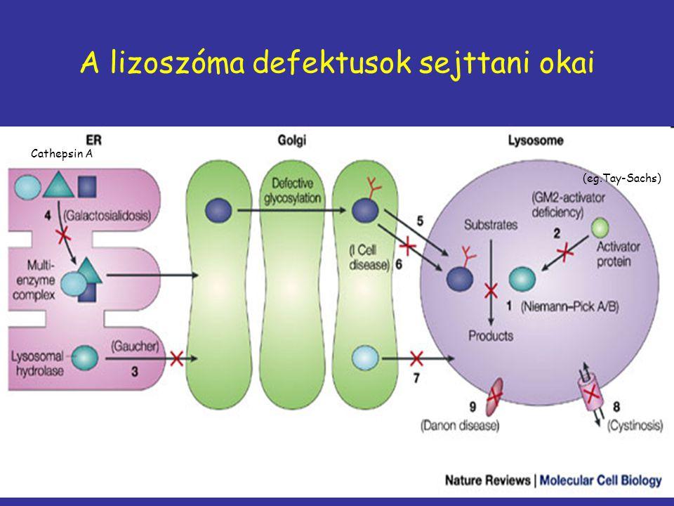 A lizoszóma defektusok sejttani okai Cathepsin A (eg.Tay-Sachs)