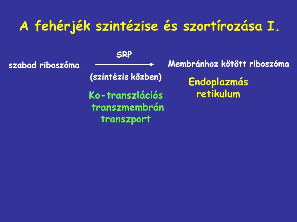 A fehérjék szintézise és szortírozása I. szabad riboszóma (szintézis közben) Endoplazmás retikulum Ko-transzlációs transzmembrán transzport Membránhoz