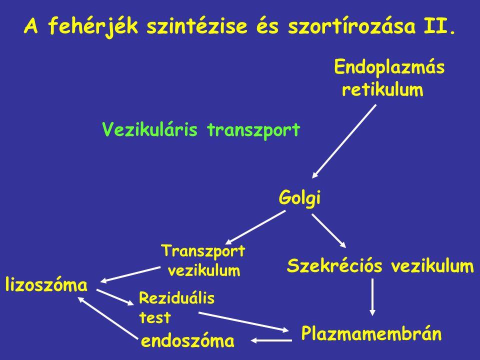 A fehérjék szintézise és szortírozása II. Golgi Plazmamembrán lizoszóma Vezikuláris transzport Endoplazmás retikulum Szekréciós vezikulum endoszóma Tr