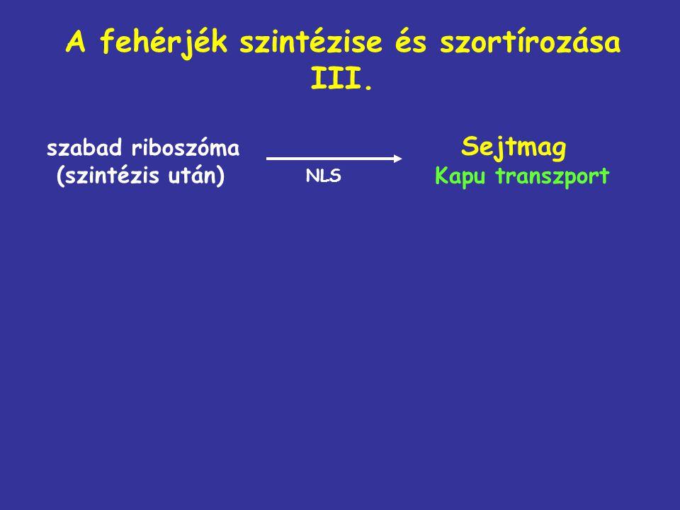 A fehérjék szintézise és szortírozása III. szabad riboszóma (szintézis után) Sejtmag Kapu transzport NLS