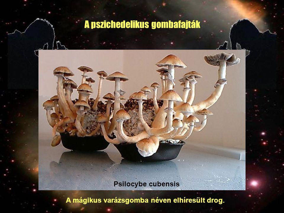 A pszichedelikus gombafajták Psilocybe cubensis A mágikus varázsgomba néven elhíresült drog.