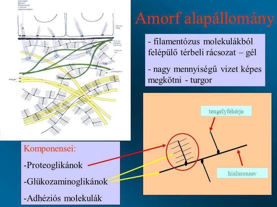 Amorf alapállomány - filamentózus molekulákból felépülő térbeli rácsozat – gél - nagy mennyiségű vizet képes megkötni - turgor Komponensei: -Proteogli
