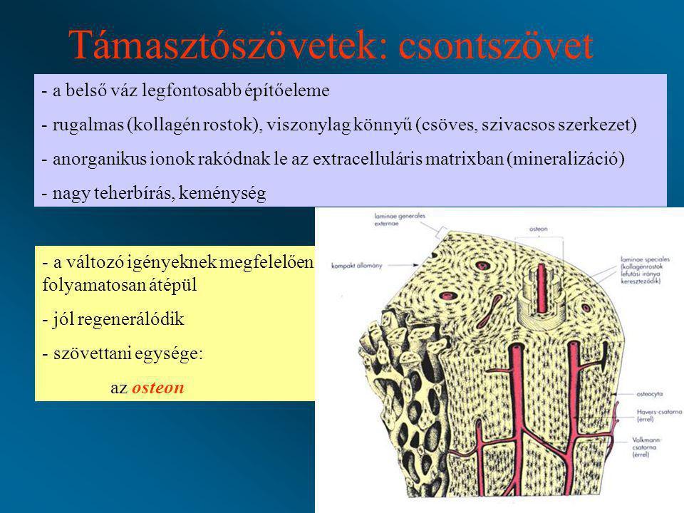 Támasztószövetek: csontszövet - a belső váz legfontosabb építőeleme - rugalmas (kollagén rostok), viszonylag könnyű (csöves, szivacsos szerkezet) - an