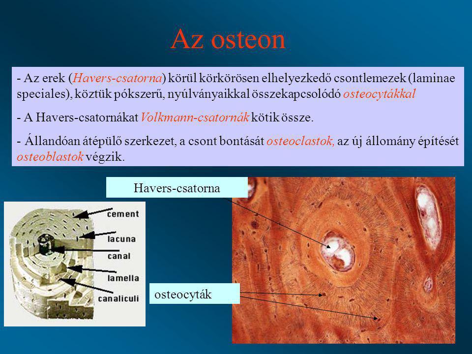 Az osteon - Az erek (Havers-csatorna) körül körkörösen elhelyezkedő csontlemezek (laminae speciales), köztük pókszerű, nyúlványaikkal összekapcsolódó