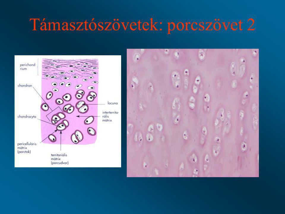 Támasztószövetek: porcszövet 2
