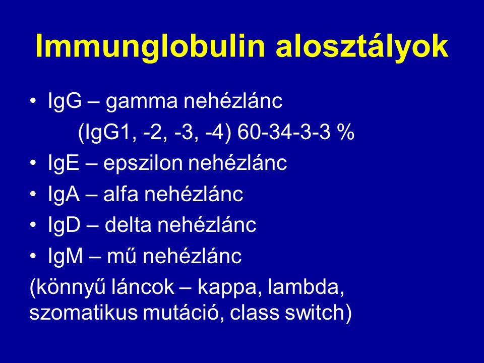 Immunglobulin alosztályok IgG – gamma nehézlánc (IgG1, -2, -3, -4) 60-34-3-3 % IgE – epszilon nehézlánc IgA – alfa nehézlánc IgD – delta nehézlánc IgM