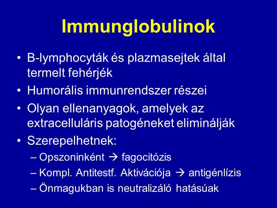 Immunglobulinok B-lymphocyták és plazmasejtek által termelt fehérjék Humorális immunrendszer részei Olyan ellenanyagok, amelyek az extracelluláris pat