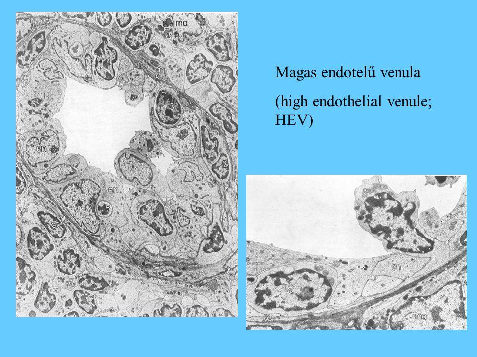Magas endotelű venula (high endothelial venule; HEV)