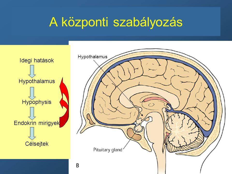 A központi szabályozás Hypothalamus Idegi hatások Hypothalamus Hypophysis Endokrin mirigyek Célsejtek