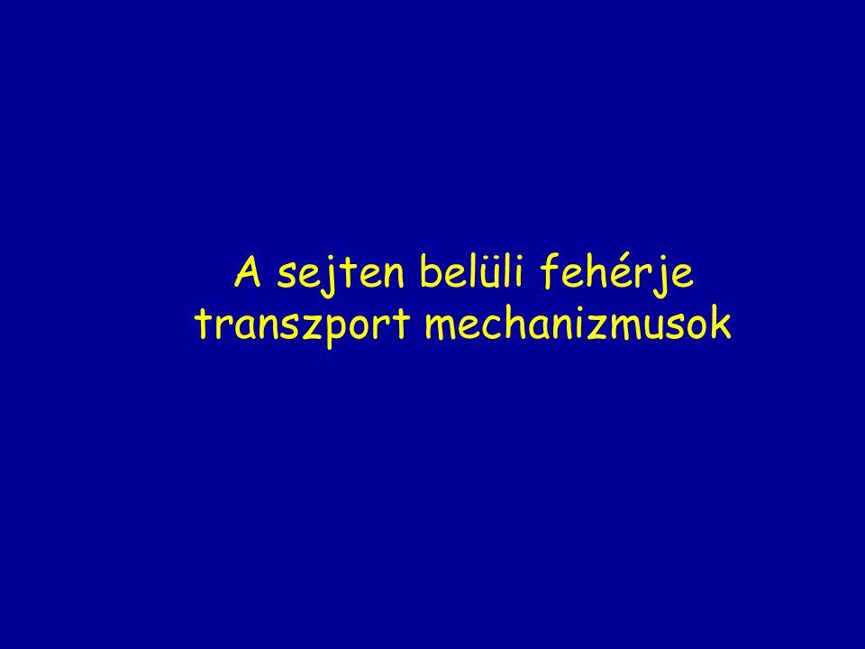 A sejten belüli fehérje transzport mechanizmusok