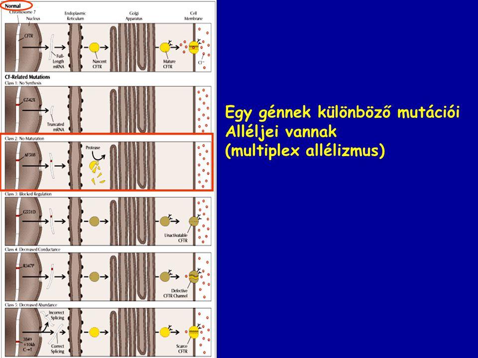 Egy génnek különböző mutációi Alléljei vannak (multiplex allélizmus)
