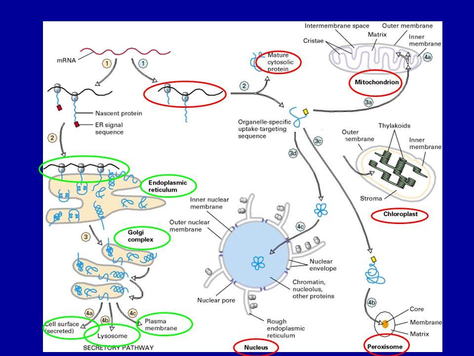 Golgi funkciói N- oligoszacharid lánc módosítása, új oligo- vagy poliszacharid láncok kötése - M-6-PO4 csoport (lizoszómális enzimek) - nincs változtatás (sok mannóz) - mannózok cseréje más monoszacharidokra - O-glikoziláció - proteoglikán szintézis SO4 csoport kötése aminosavakra vagy szénhidrátláncra lipidek módosítása – glikolipidek, - szfingomielin proteolízis osztályozás – vissza az ER-be - Golgi proteinek visszatartása - TGN – lizoszóma, plazmamembrán