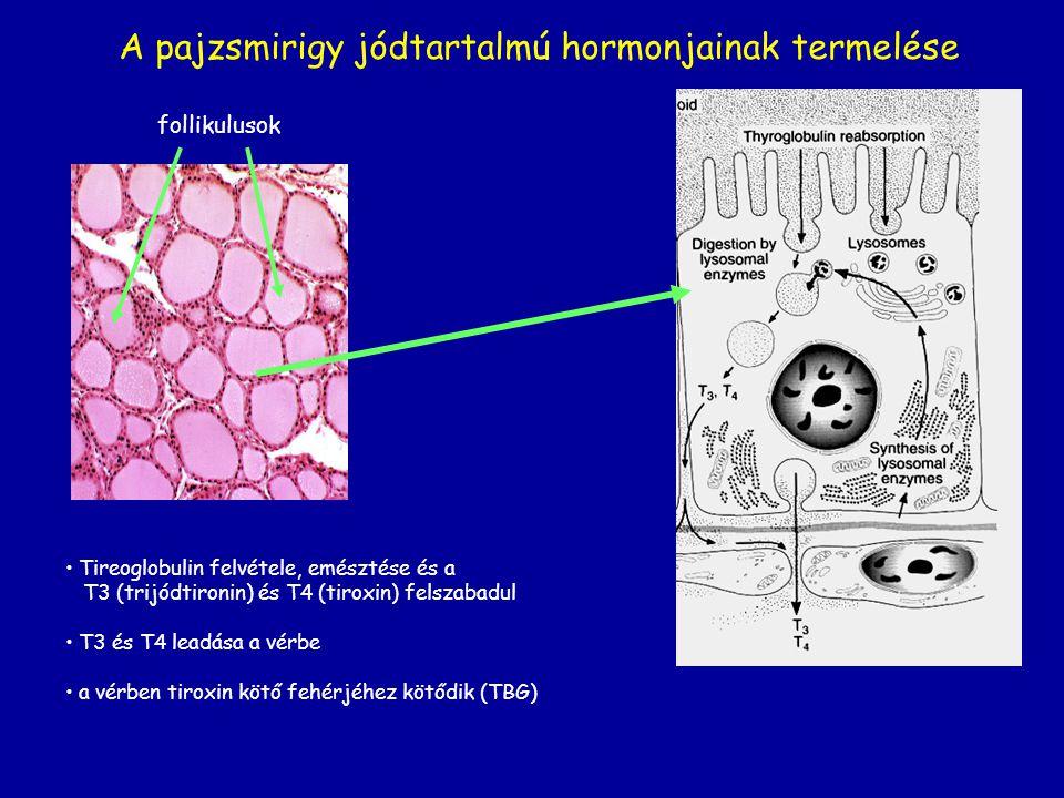 A pajzsmirigy jódtartalmú hormonjainak termelése follikulusok Tireoglobulin felvétele, emésztése és a T3 (trijódtironin) és T4 (tiroxin) felszabadul T