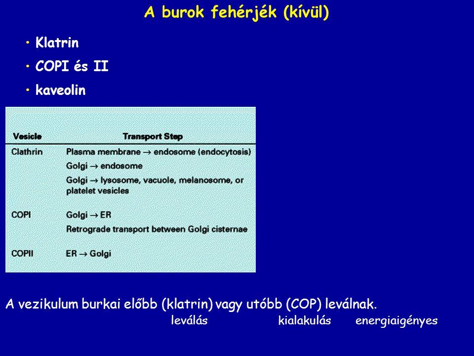 Klatrin COPI és II kaveolin A burok fehérjék (kívül) A vezikulum burkai előbb (klatrin) vagy utóbb (COP) leválnak. leválás kialakulás energiaigényes