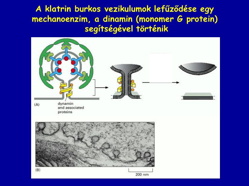 A klatrin burkos vezikulumok lefűződése egy mechanoenzim, a dinamin (monomer G protein) segítségével történik