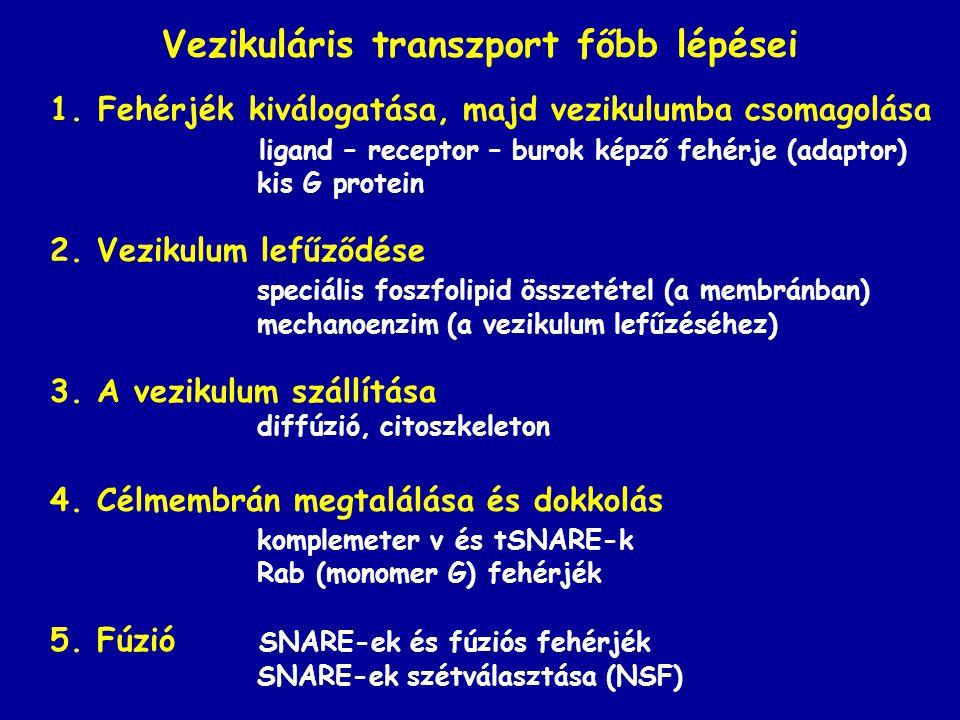 Vezikuláris transzport főbb lépései 1.Fehérjék kiválogatása, majd vezikulumba csomagolása ligand – receptor – burok képző fehérje (adaptor) kis G prot