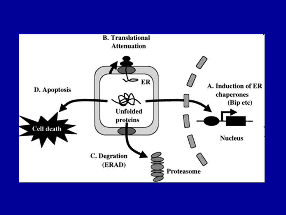 1.Protein hiány (ER retenció) Cystic fibrosis and associated diseases a1-antitrypsin deficiency without liver disease Congenital hypothyroidism: Thyroglobulin deficiency Thyroid peroxidase deficiency Thyroxin binding globulin deficiency Protein C deficiency Disorders of lipid metabolism LDL receptor defect Lipoprotein lipase deficiency Lipoprotein(a) deficiency Hereditary hypoparathyroidism Nephrogenic diabetes insipidus due to mutations in AVP receptor 2 or aquaporin-2 Growth hormone receptor deficiency Osteogenesis imperfecta Procollagen type I, II, IV deficiency Albinism/tyrosinase deficiency Obesity/elevated prohormone levels: prohormone convertase 1 deficiency 2.