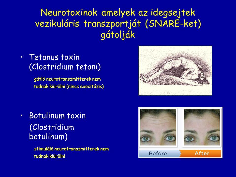 Neurotoxinok amelyek az idegsejtek vezikuláris transzportját (SNARE-ket) gátolják Tetanus toxin (Clostridium tetani) gátló neurotranszmitterek nem tud