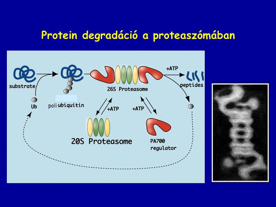 I (inclusion) sejt betegség Golgi - foszfotranszferáz hiány – lizoszómális enzimek nem kapnak M-6-P szignált, ezért szekrécióra kerülnek, a sejtbe került anyagok nem tudnak lebomlani =inclusion body-k Főleg fibroblaszt és makrofág ( más sejtekben más útvonal lehet?) letális
