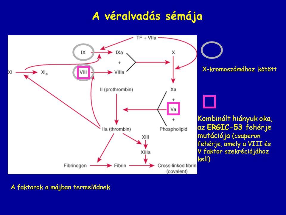 A véralvadás sémája X-kromoszómához kötött A faktorok a májban termelődnek Kombinált hiányuk oka, az ERGIC-53 fehérje mutációja (csaperon fehérje, ame
