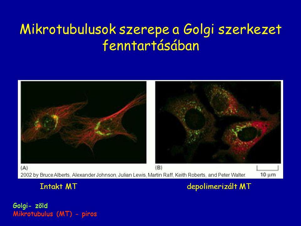 Mikrotubulusok szerepe a Golgi szerkezet fenntartásában 2002 by Bruce Alberts, Alexander Johnson, Julian Lewis, Martin Raff, Keith Roberts, and Peter