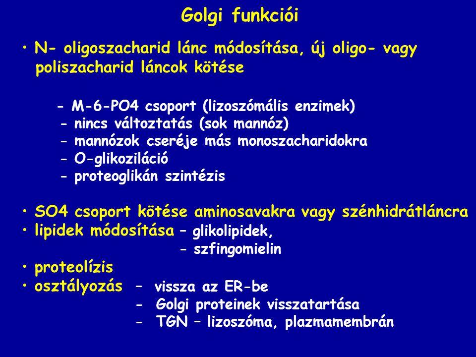 Golgi funkciói N- oligoszacharid lánc módosítása, új oligo- vagy poliszacharid láncok kötése - M-6-PO4 csoport (lizoszómális enzimek) - nincs változta